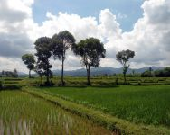 rice-paddy-field